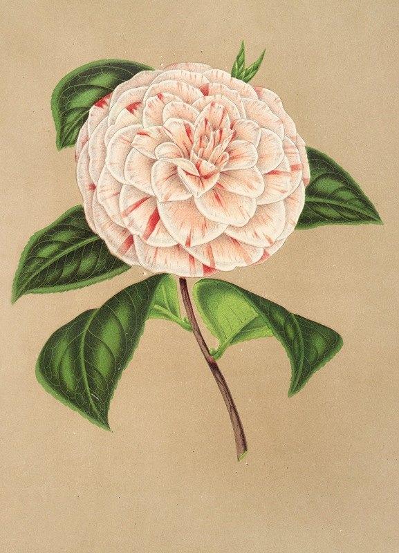 Charles Antoine Lemaire - Camellia Principessa Clotilde