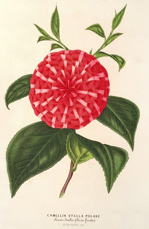 Charles Antoine Lemaire - Camellia Stella polare
