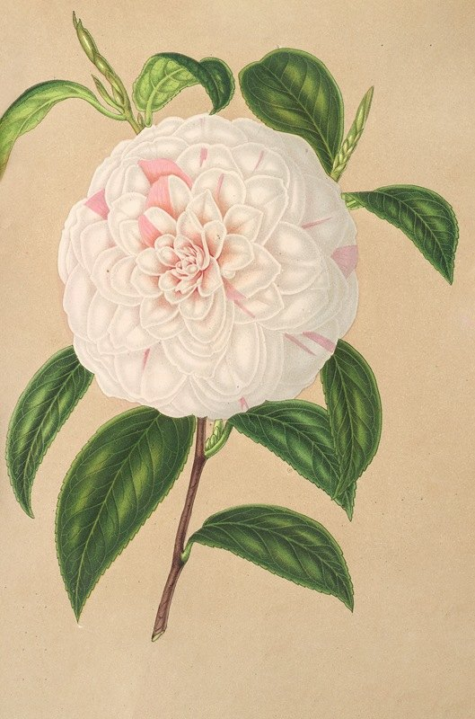 Charles Antoine Lemaire - Camellia Virginia Franco