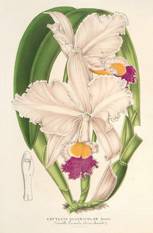 Charles Antoine Lemaire - Cattleya quadricolor