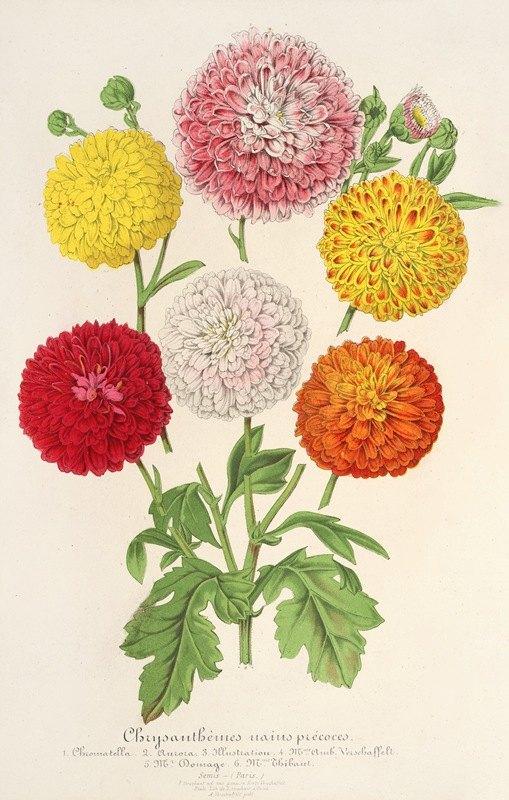 Charles Antoine Lemaire - Chrysanthèmes (des jardins) nains et précoces