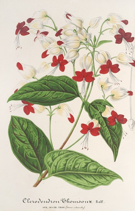 Charles Antoine Lemaire - Clerodendrum Thomsonæ