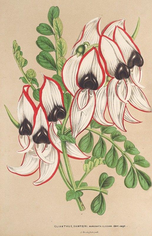 Charles Antoine Lemaire - Clianthus Dampieri (v. flore albo rubro-marginato)