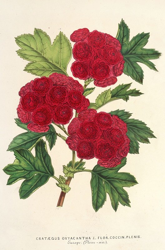 Charles Antoine Lemaire - Cratægus oxyacantha, var. flor. coccin. plenis