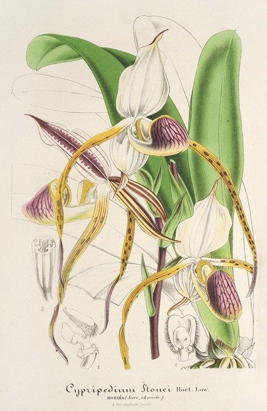 Charles Antoine Lemaire - Cypripedium Stonei