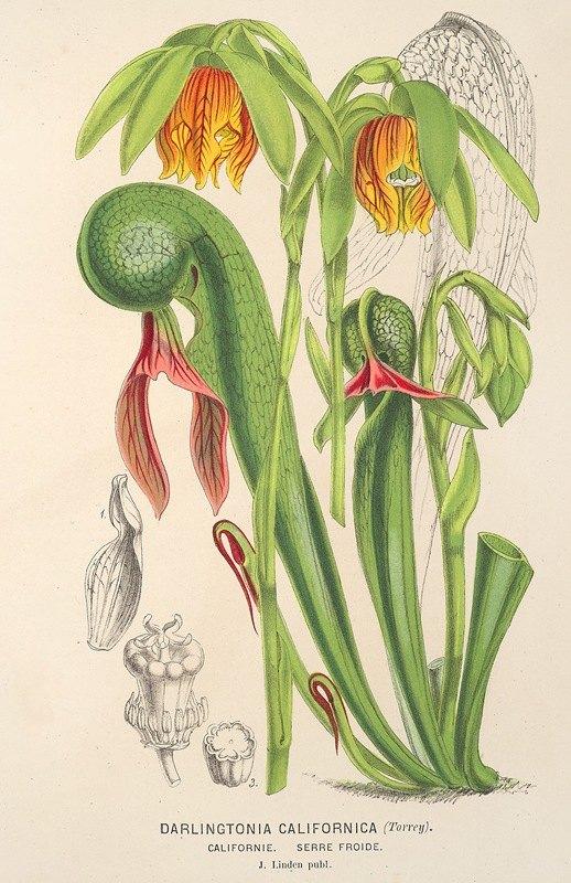 Charles Antoine Lemaire - Darlingtonia californica