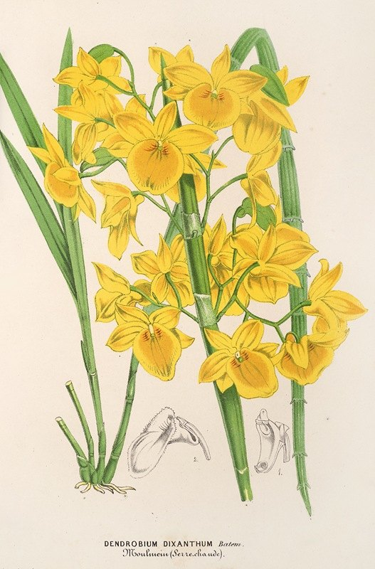 Charles Antoine Lemaire - Dendrobium dixanthum