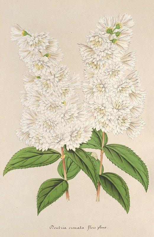 Charles Antoine Lemaire - Deutzia crenata Zucc. flore pleno
