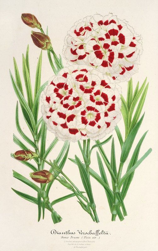 Charles Antoine Lemaire - Dianthus Verschaffeltii