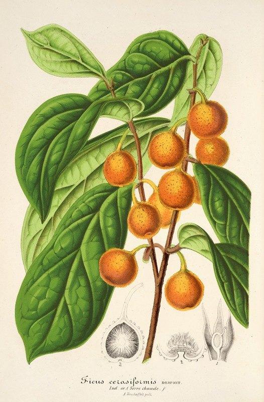 Charles Antoine Lemaire - Ficus cerasiformis