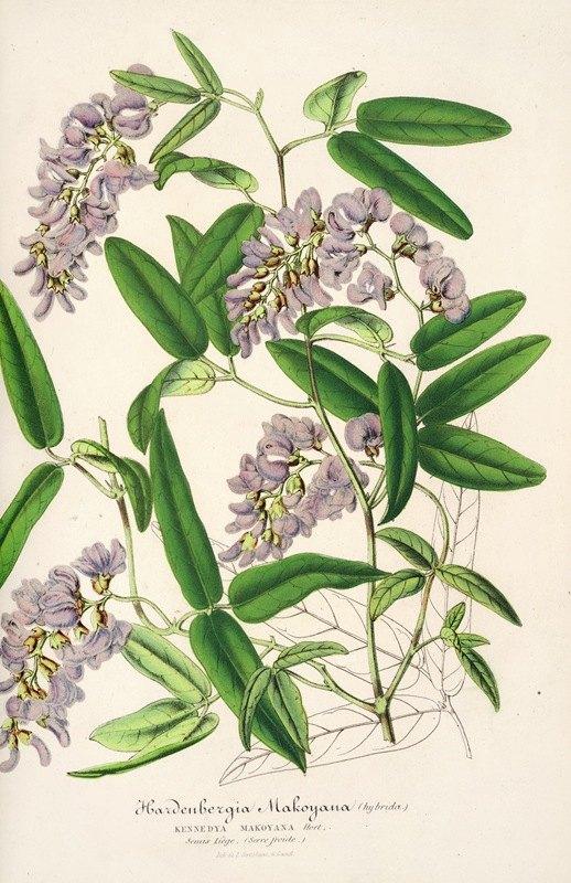 Charles Antoine Lemaire - Hardenbergia Makoyana (hybrida)