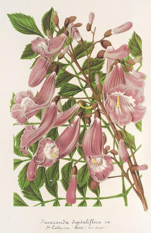 Charles Antoine Lemaire - Jacaranda digitaliflora