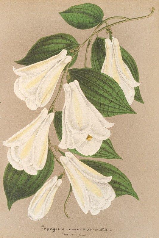 Charles Antoine Lemaire - Lapageria rosea R. et.P. var. albiflora