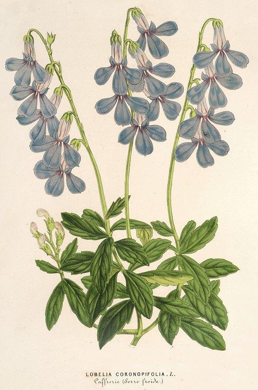 Charles Antoine Lemaire - Lobelia coronopifolia