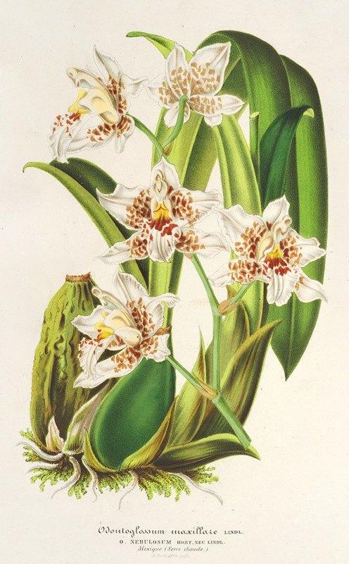 Charles Antoine Lemaire - Odontoglossum maxillare