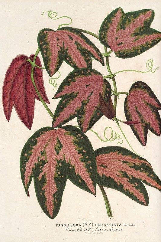 Charles Antoine Lemaire - Passiflora trifasciata