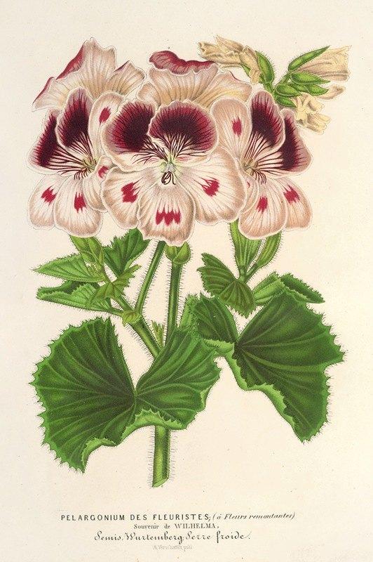 Charles Antoine Lemaire - Pelargonium (des Fleuristes) à fi. remontantes, Souvenir de Wilhelma