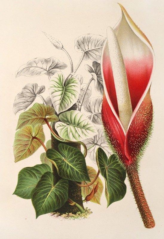 Charles Antoine Lemaire - Philodendron Daguense