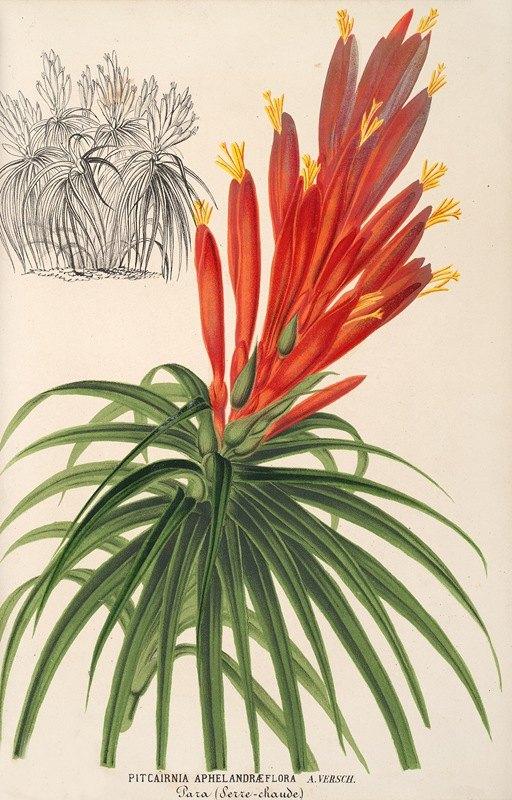 Charles Antoine Lemaire - Pitcairnia aphelandræflora