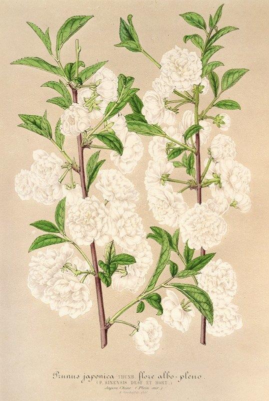 Charles Antoine Lemaire - Prunus (sinensis) japonica