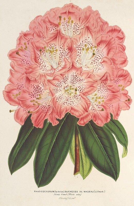 Charles Antoine Lemaire - Rhododendrum (hybridum) Duchesse de Nassau