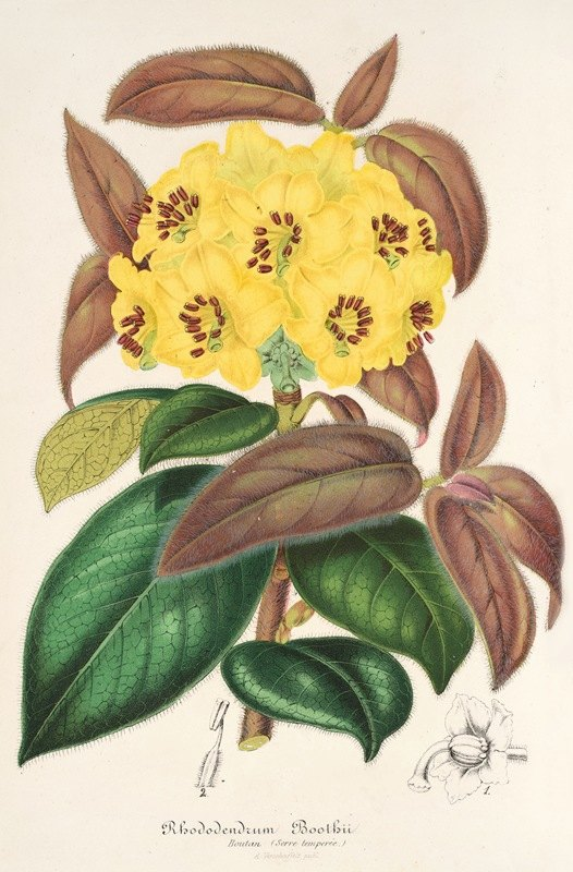 Charles Antoine Lemaire - Rhododendrum Boothii