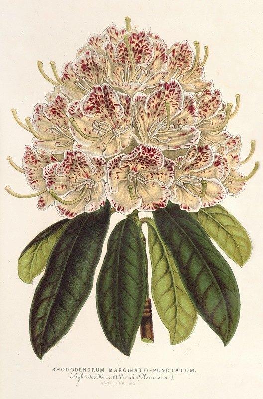 Charles Antoine Lemaire - Rhododendrum marginato-punctatum (hybr.)