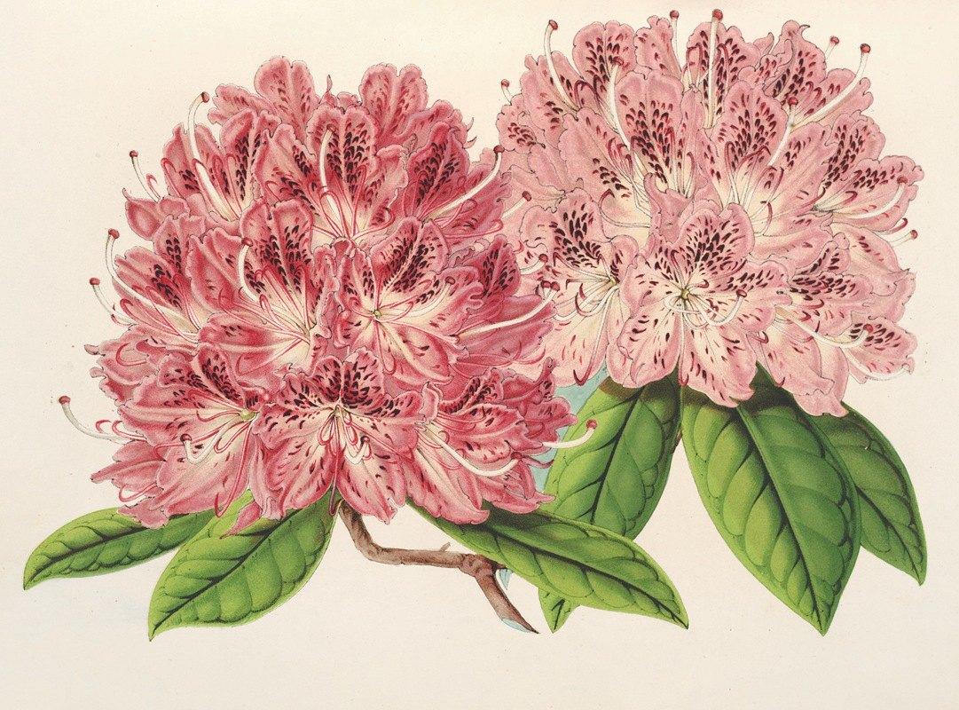 Charles Antoine Lemaire - Rhododendrum omni-guttatum (hybride)