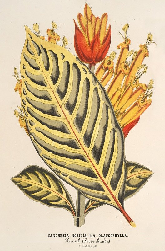 Charles Antoine Lemaire - Sanchezia nobilis var. glaucophylla