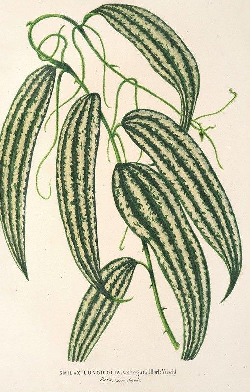 Charles Antoine Lemaire - Smilax longifolia, fol. variegata