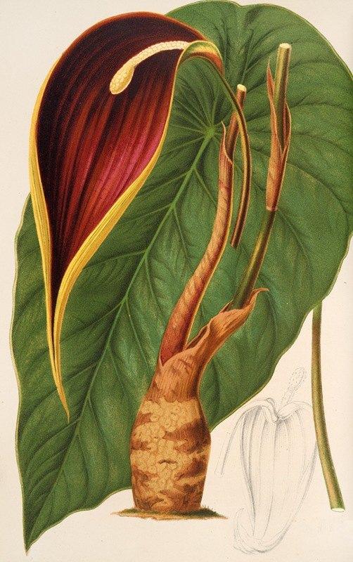 Charles Antoine Lemaire - Steudnera colocasiœfolia