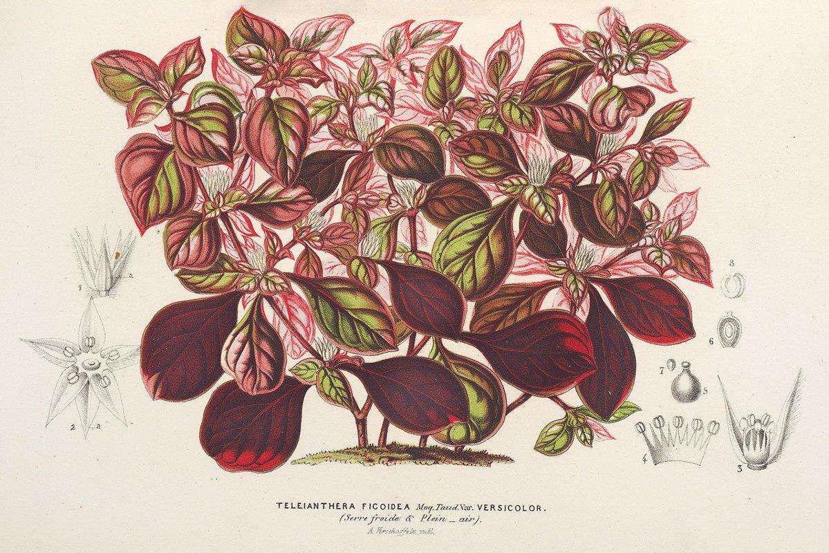 Charles Antoine Lemaire - Teleianthera ficoidea var. versicolor