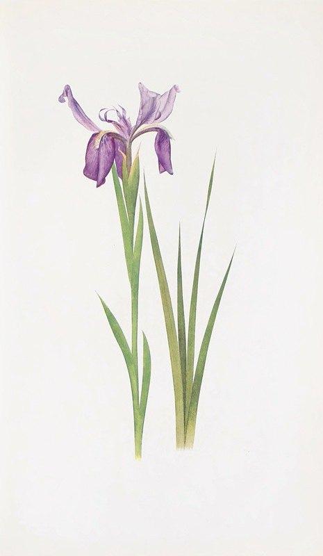 William Rickatson Dykes - Iris sikkimensis