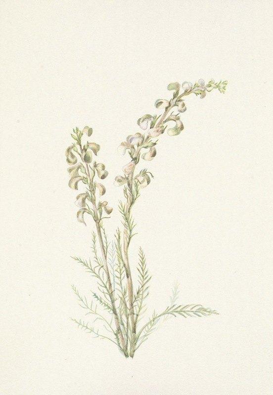 Mary Vaux Walcott - Alpine Femleaf. Pedicularis contorta