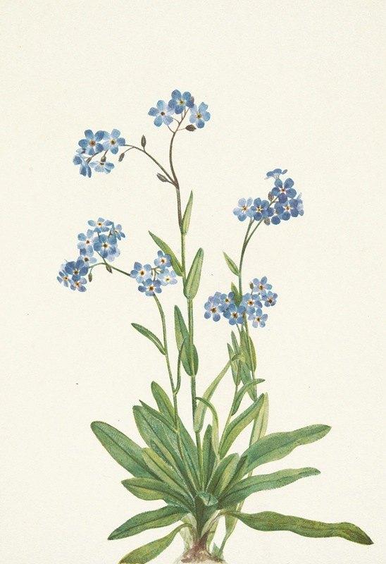 Mary Vaux Walcott - Alpine Forget-me-not. Myosotis alpestris