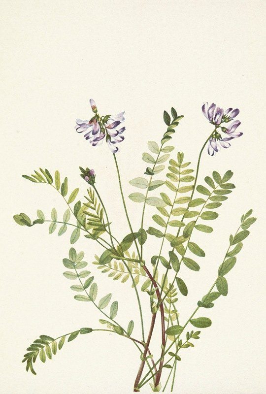 Mary Vaux Walcott - Alpine Milkvetch. Astragalus alpinus