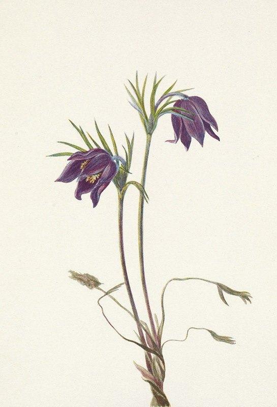 Mary Vaux Walcott - American Pasqueflower (flower). Pulsatilla ludoviciana