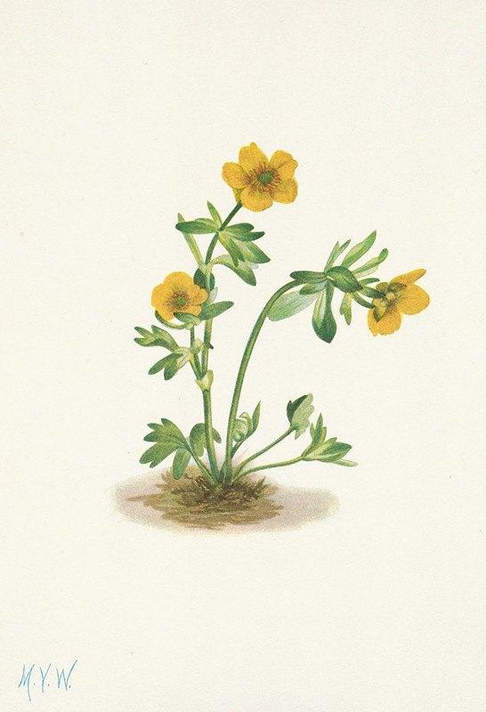 Mary Vaux Walcott - Avalanche Buttercup. Ranunculus suksdorfii