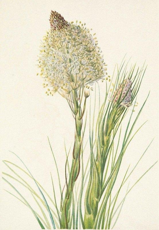 Mary Vaux Walcott - Beargrass. Xerophyllum tenax