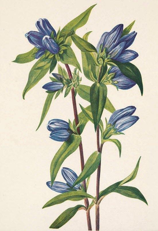 Mary Vaux Walcott - Bottle Gentian. Gentiana saponaria