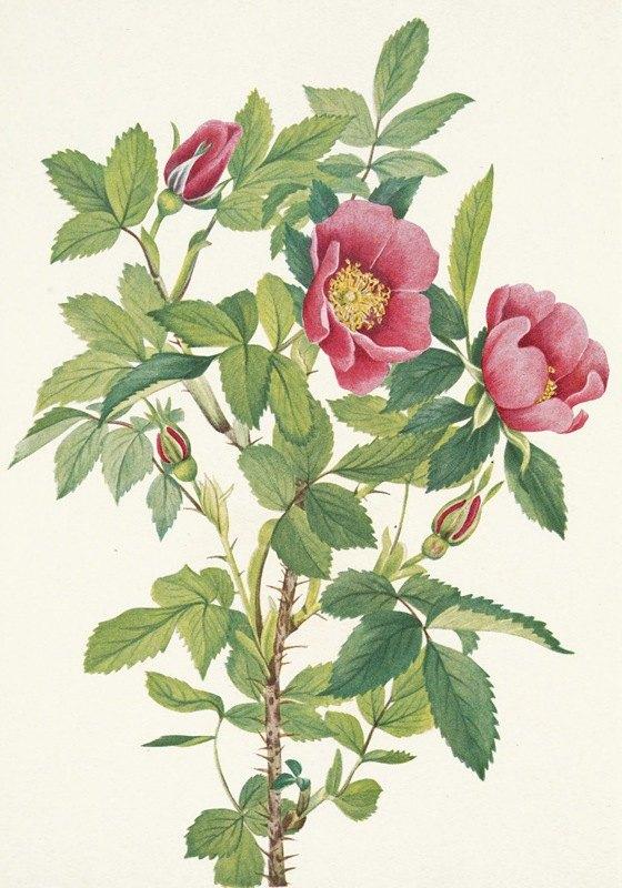 Mary Vaux Walcott - Bourgeau Rose (flower). Rosa bourgeauiana