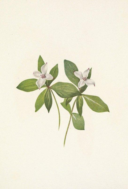 Mary Vaux Walcott - Bunchberry (flower). Cornus canadensis