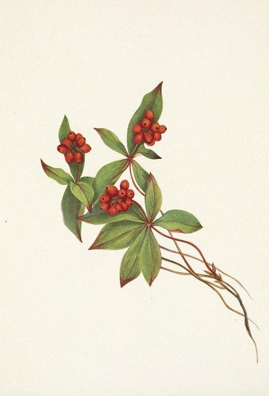 Mary Vaux Walcott - Bunchberry (fruit). Cornus canadensis