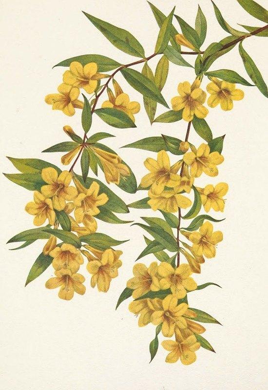 Mary Vaux Walcott - Carolina Jessamine. Gelsemium sempervirens