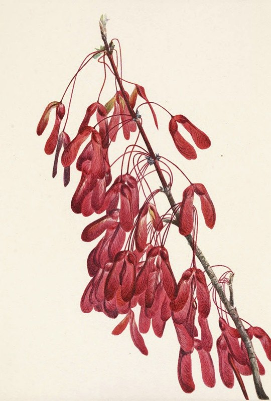 Mary Vaux Walcott - Carolina Maple. Acer carolinianum