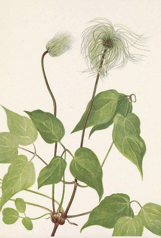 Mary Vaux Walcott - Columbia Clematis (fruit). Clematis columbiana