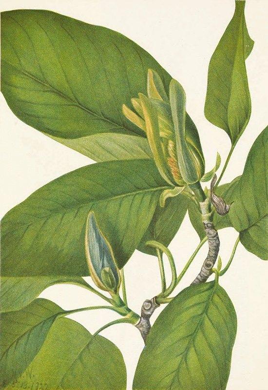 Mary Vaux Walcott - Cucumbertree. Magnolia acuminata