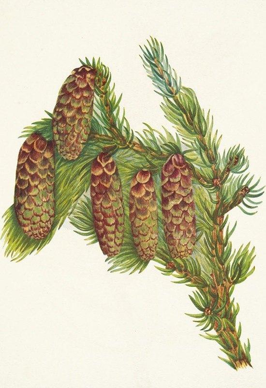 Mary Vaux Walcott - Engelmann Spruce. Picea engelmanni