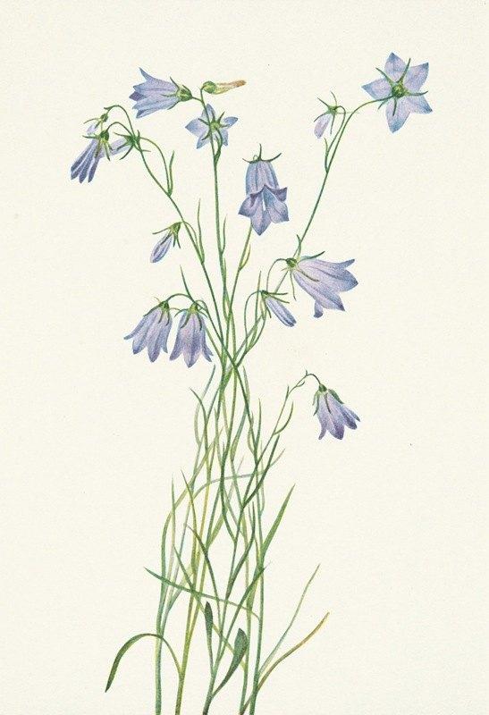 Mary Vaux Walcott - Harebell. Campanula rotundifolia