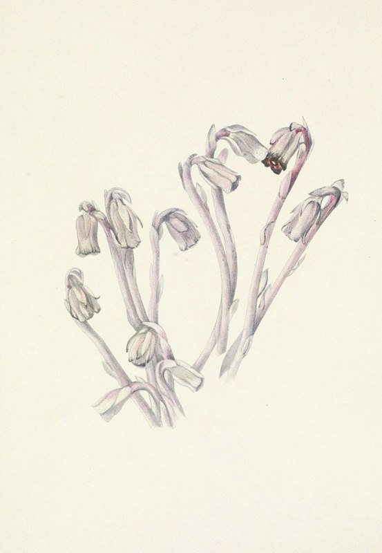 Mary Vaux Walcott - Indianpipe. Monotropa uniflora